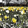 Tulips At Dallas Arboretum V26 by Douglas Barnard