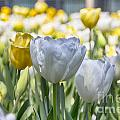 Tulips At Dallas Arboretum V28 by Douglas Barnard