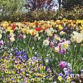 Tulips At Dallas Arboretum V33 by Douglas Barnard
