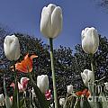 Tulips At Dallas Arboretum V36 by Douglas Barnard