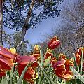 Tulips At Dallas Arboretum V37 by Douglas Barnard