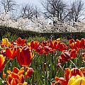 Tulips At Dallas Arboretum V39 by Douglas Barnard