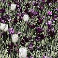 Tulips At Dallas Arboretum V43 by Douglas Barnard