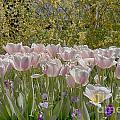 Tulips At Dallas Arboretum V45 by Douglas Barnard