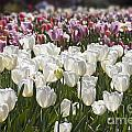 Tulips At Dallas Arboretum V52 by Douglas Barnard