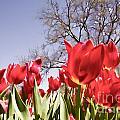 Tulips At Dallas Arboretum V62 by Douglas Barnard