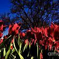 Tulips At Dallas Arboretum V63 by Douglas Barnard