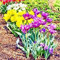 Tulips At Dallas Arboretum V65 by Douglas Barnard