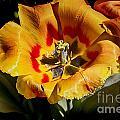 Tulips At Dallas Arboretum V67 by Douglas Barnard