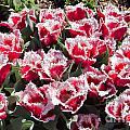 Tulips At Dallas Arboretum V70 by Douglas Barnard
