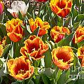 Tulips At Dallas Arboretum V71 by Douglas Barnard