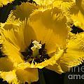 Tulips At Dallas Arboretum V76 by Douglas Barnard