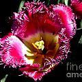 Tulips At Dallas Arboretum V77 by Douglas Barnard