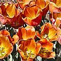 Tulips At Dallas Arboretum V80 by Douglas Barnard