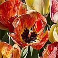 Tulips At Dallas Arboretum V81 by Douglas Barnard