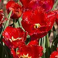 Tulips At Dallas Arboretum V83 by Douglas Barnard
