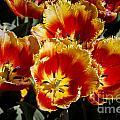 Tulips At Dallas Arboretum V84 by Douglas Barnard