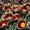 Tulips At Dallas Arboretum V93 by Douglas Barnard