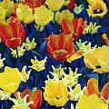 Tulips Blue by Radka Linkova