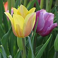 Tulips - Caring Thoughts 03 by Pamela Critchlow