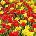 Tulips by Coleen Harty
