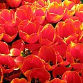 Tulips - Field With Love 28 by Pamela Critchlow
