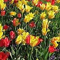 Tulips - Field With Love 49 by Pamela Critchlow