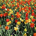 Tulips - Field With Love 50 by Pamela Critchlow