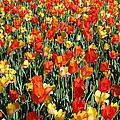 Tulips - Field With Love 51 by Pamela Critchlow