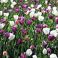 Tulips - Field With Love 60 by Pamela Critchlow