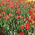 Tulips - Field With Love 61 by Pamela Critchlow