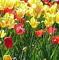 Tulips - Field With Love 65 by Pamela Critchlow