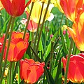 Tulips - Field With Love 69 by Pamela Critchlow