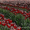 Tulips Fields Are Forever by Bob Christopher