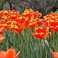 Tulips From Brooklyn by John Telfer