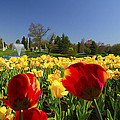 Tulips Galore  by Randall Branham