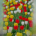 Tulips In A Field by Tom Gari Gallery-Three-Photography