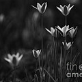 Tulips In Black And White by Mary  Smyth