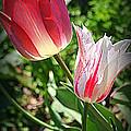 Tulips In Red And White by Dora Sofia Caputo Photographic Design and Fine Art