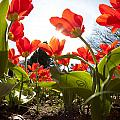 Tulips In Spring by Alexey Stiop
