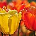 Tulips In The Midst by Thomas Shockey