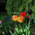 Tulips In The Spring by Jeanette C Landstrom