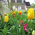 Tulips In Williamsburg by Elizabeth Dow