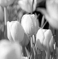 Tulips - Infrared 10 by Pamela Critchlow