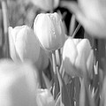 Tulips - Infrared 11 by Pamela Critchlow
