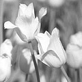 Tulips - Infrared 12 by Pamela Critchlow