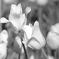 Tulips - Infrared 13 by Pamela Critchlow