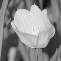 Tulips - Infrared 16 by Pamela Critchlow