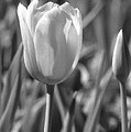 Tulips - Infrared 27 by Pamela Critchlow