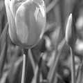 Tulips - Infrared 28 by Pamela Critchlow